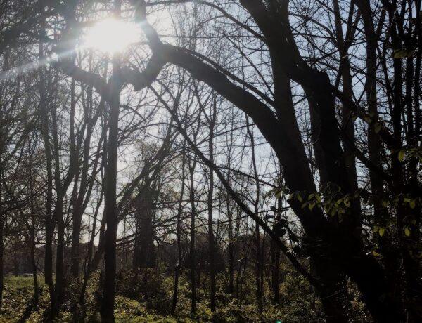 hawthorn tree with light shining through it