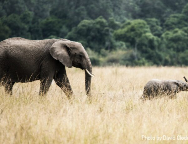 a mother and baby elephant