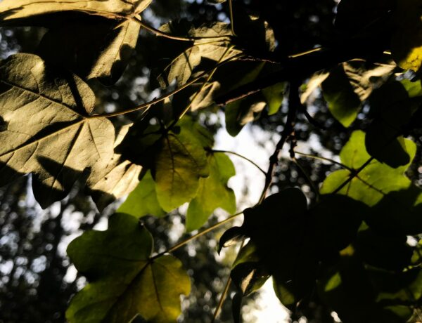 field maple leaves in late afternoon light. A Monday morning prayer
