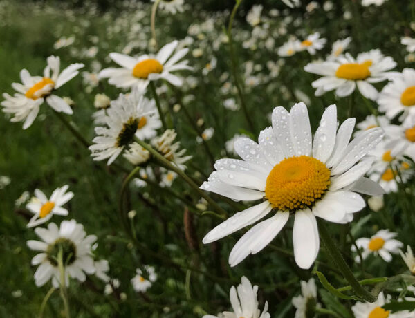 daisies in a field border