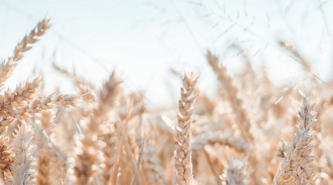 lughnasadh field of wheat